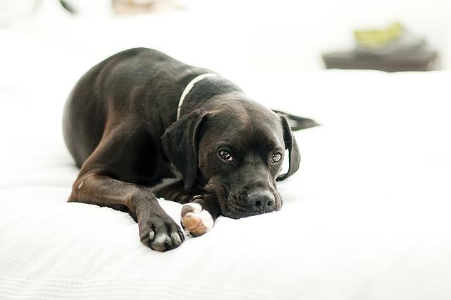 мастит у собак