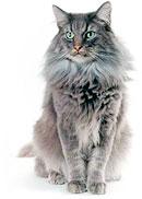 Чистка зубов у котов и кошек