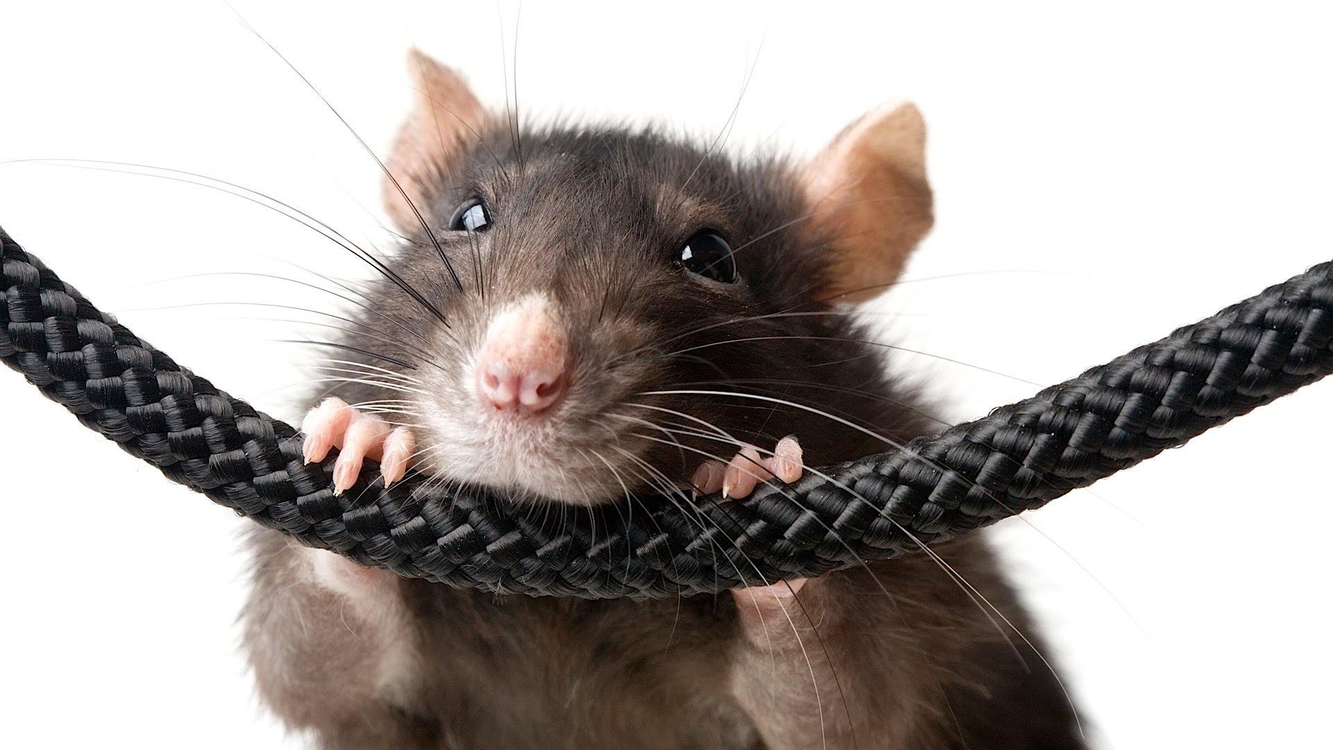 лечение болезней крыс