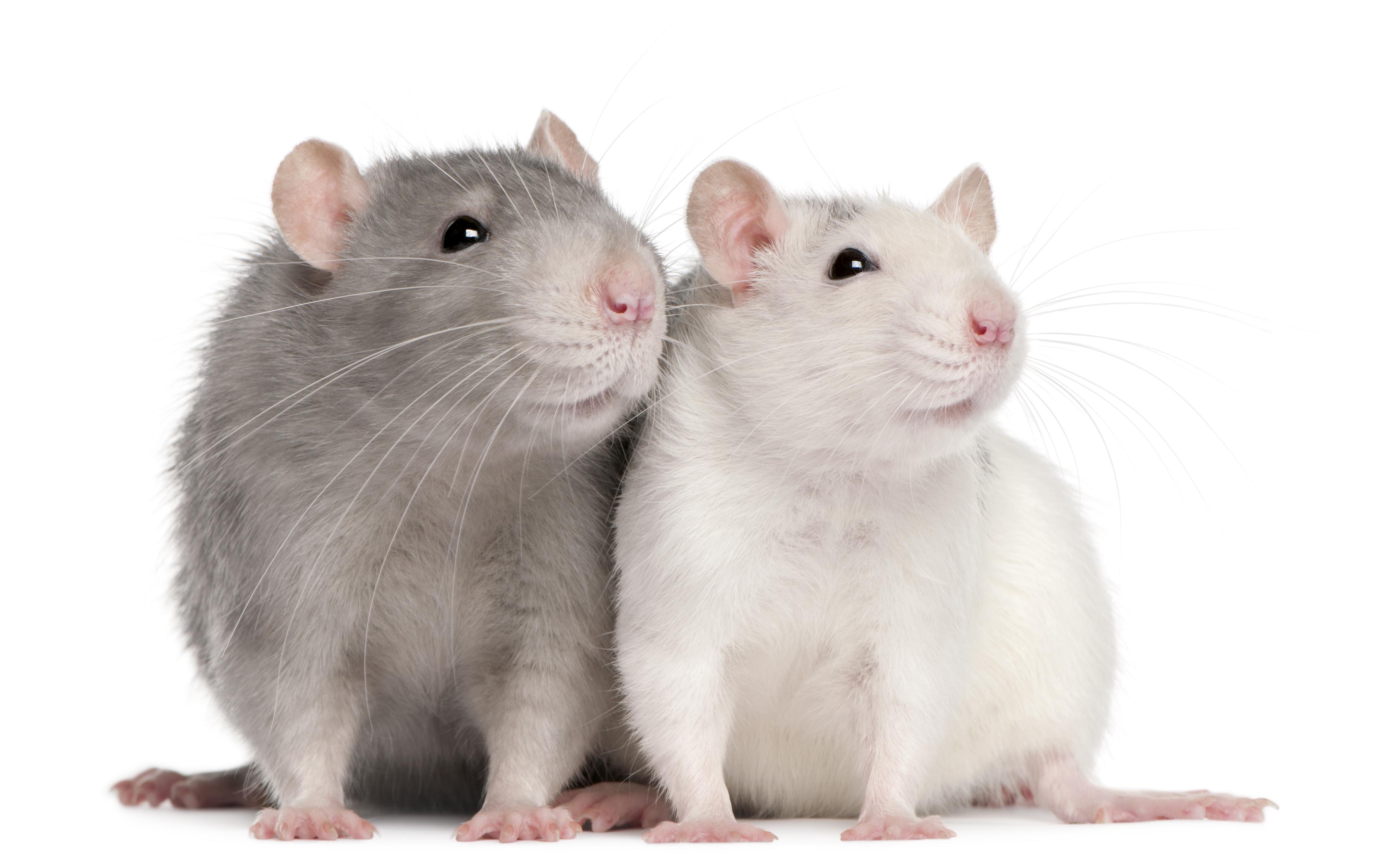 Как лечить крысу?