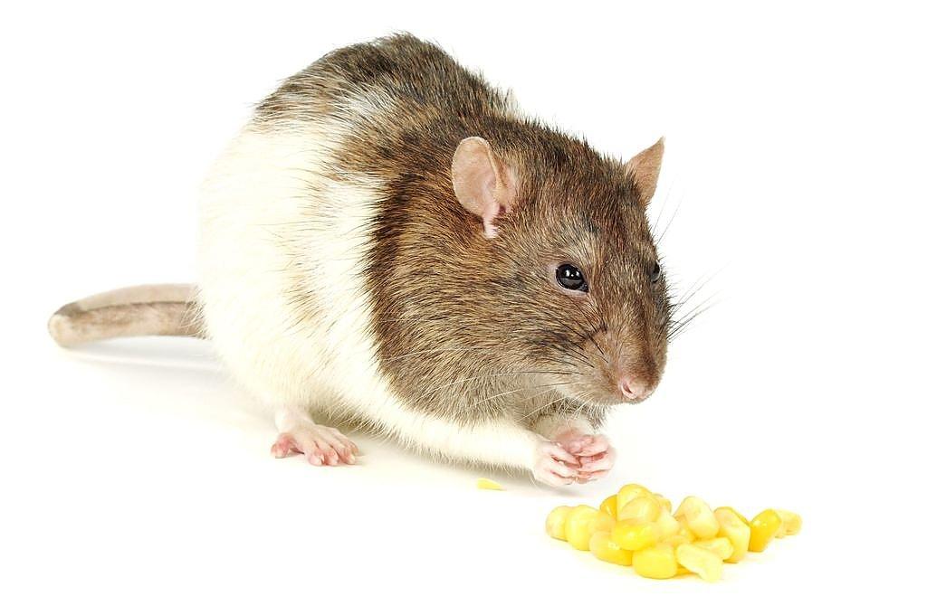 Крысиные болезни - лечение