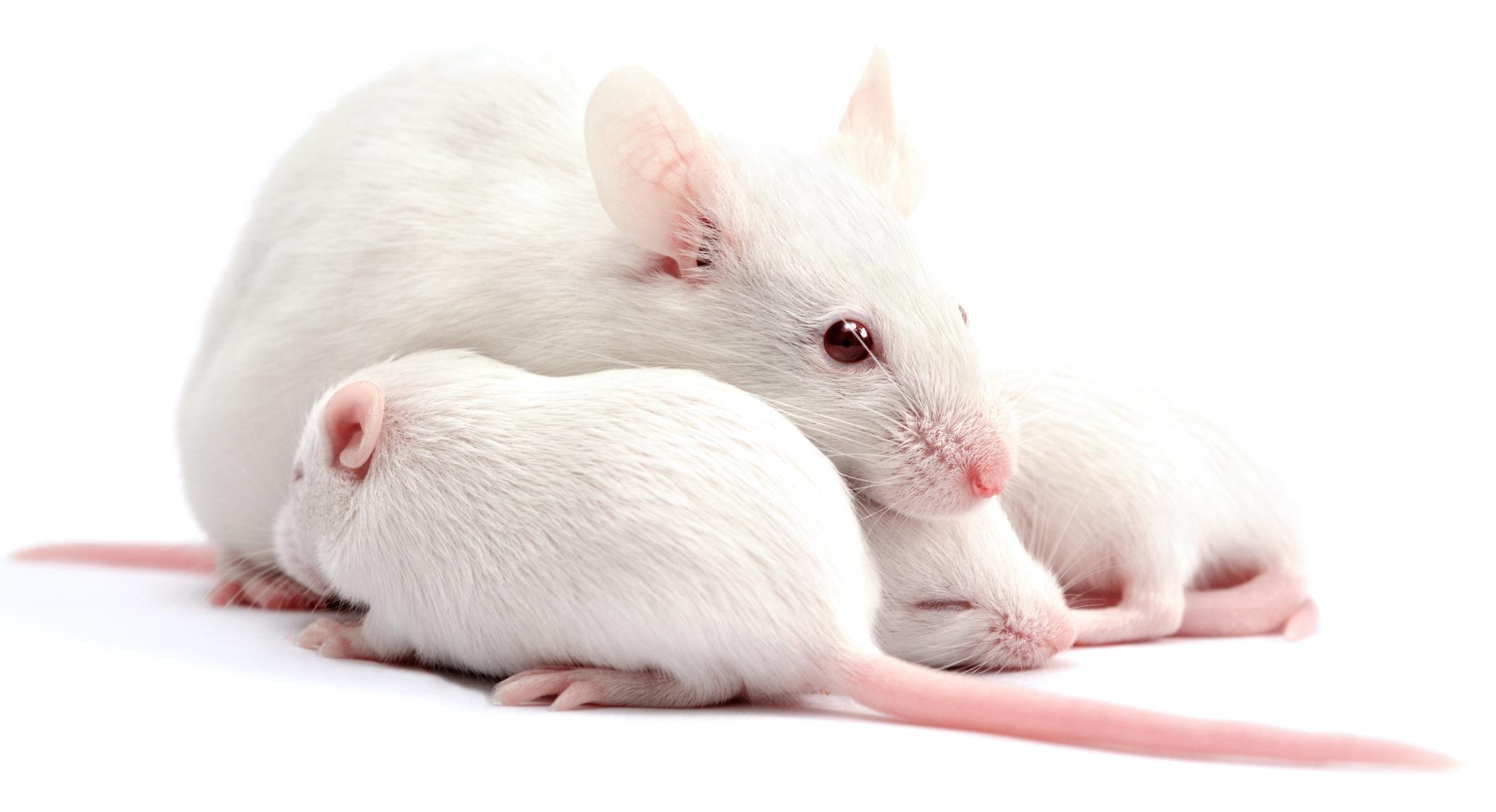 Болезни и лечение крыс