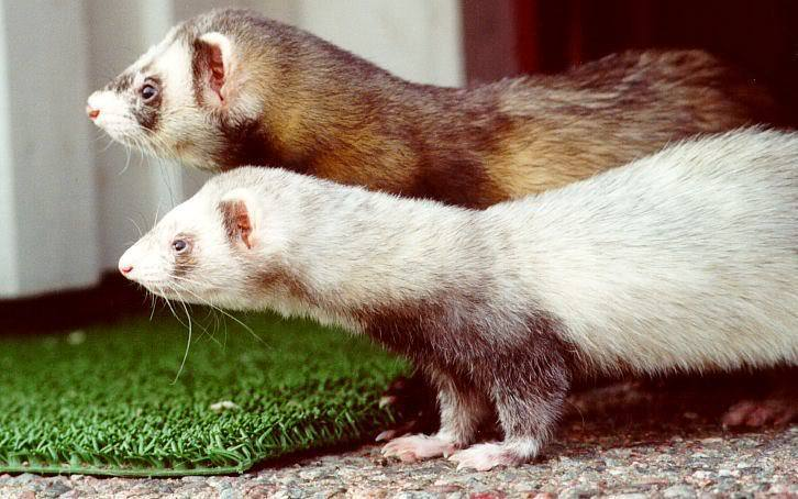 Ferrets-Next-to-Each-other.jpg